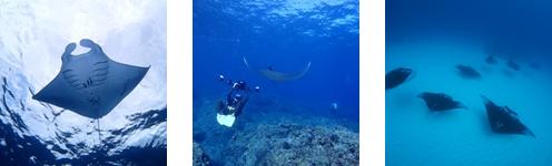 石垣島ダイビングでマンタに会おう